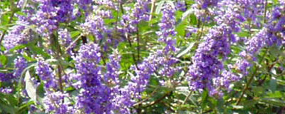 Chasteberry-Vitex agnus-castus